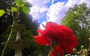 Una rosa,en el paerque Rosalia de Castro,Lugo