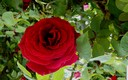 ROSAS ROJAS DE PRIMAVERA