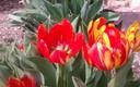 Tulipanes a los pies de Santo Domingo de Silos