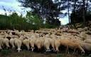 Rebaño de ovejas, Torrelles de Foix, Alt Penedès.