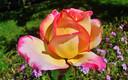 Rosas del tiempo.