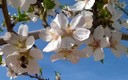 Almendros en flor en Jumilla