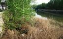 Nacimiento de cisnes en el Rio Carrión
