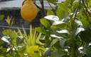 el gran limon